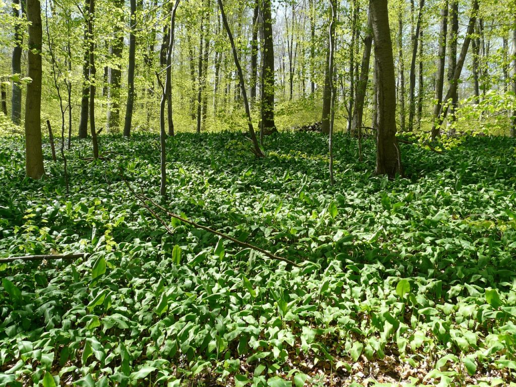 bear's garlic, forest, forest floor