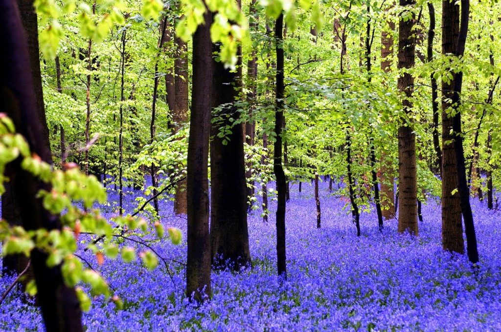 forest, hallerbos, nature