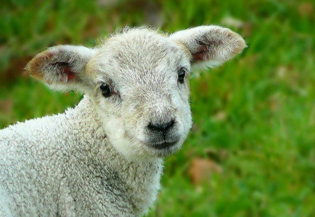sheep, wool, animal
